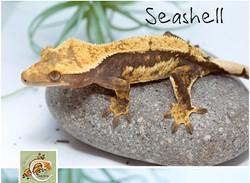 Seashell%202_edited