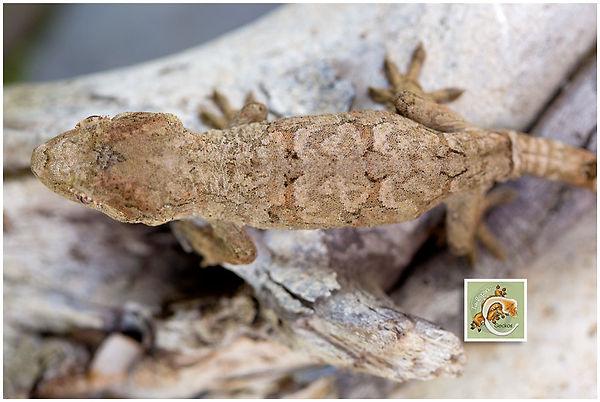 Basil-Geckos-5-21-7476.jpg