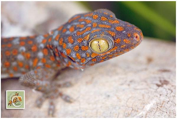Geckos-5-21-7530-Edit.jpg