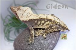 Gideon-320-1560