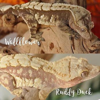 wallflower x ruddy duck.jpg