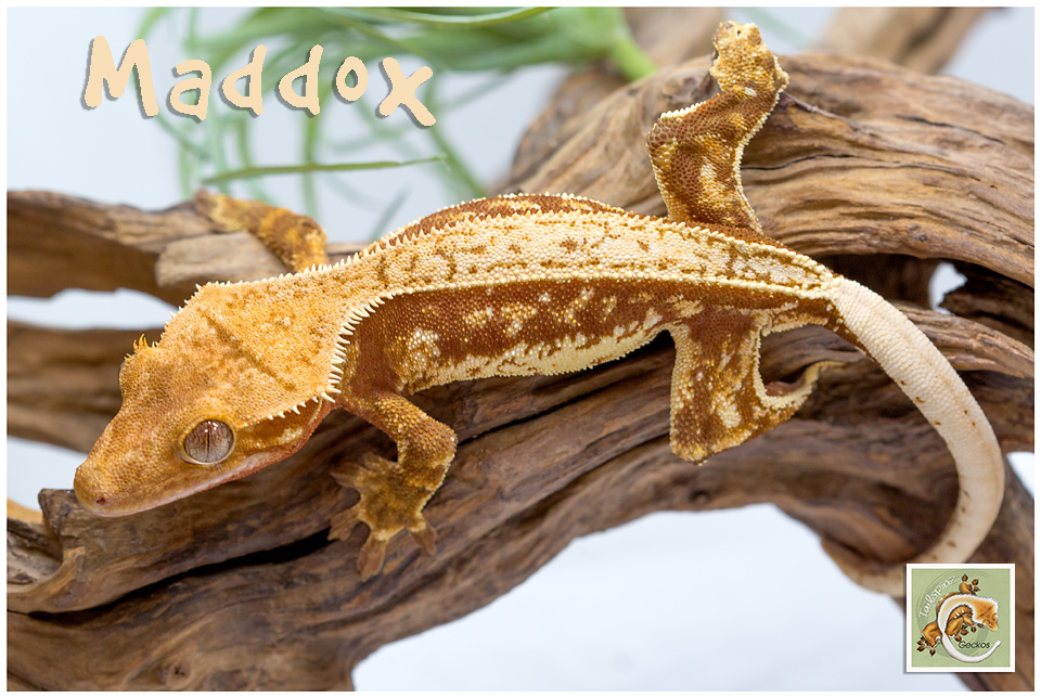 Maddox 12-20-4958
