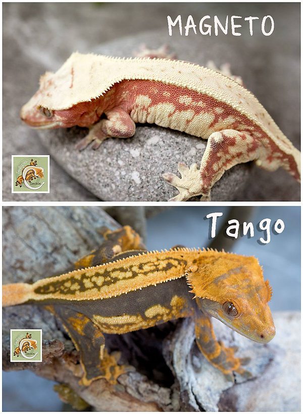 Magneto x Tango.jpg