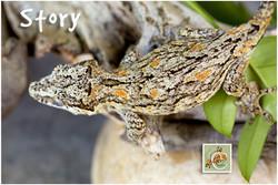 Story-Geckos-5-21-7446