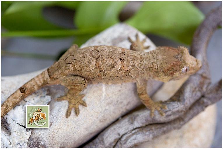 Basil--Geckos-5-21-7474.jpg