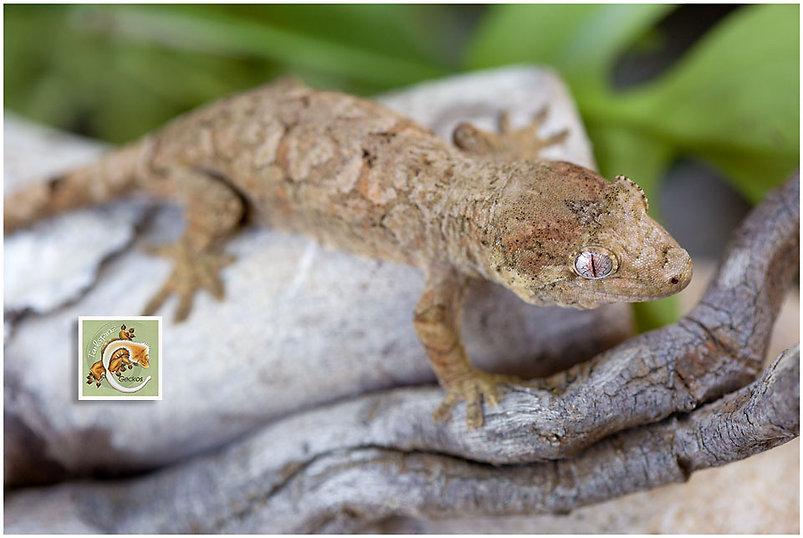 Basil-Geckos-5-21-7475.jpg