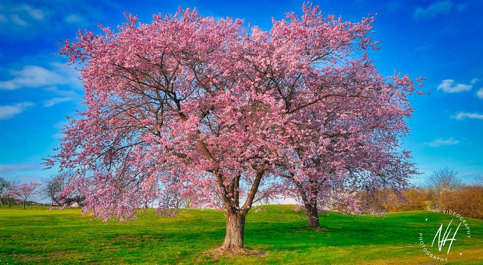 Kirschblüten Ostersamstag