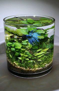 Betta Planted Tank