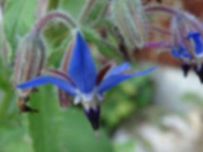 borage-officinalis-3728194_640.jpg