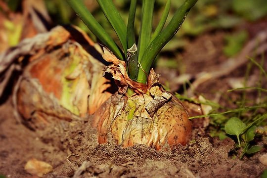 onion-3706937_640.jpg
