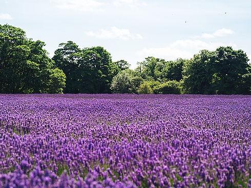 lilac-1081814_640.jpg