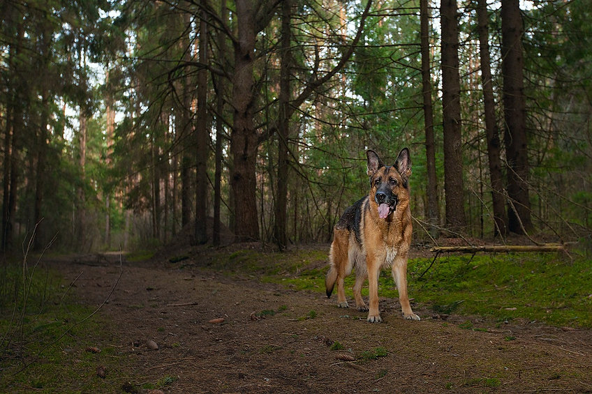 german-shepherd-1908576_1280.jpg