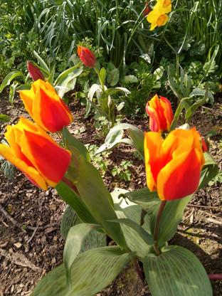Orange Tulips. Photograph by Rebecca Wilcox