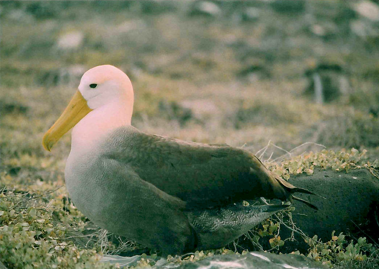 Albatross sitting on the rock and pale grey green leaves. It's body is grey and it's head looks a pale pink colour and it's beak is a muted yellow colour.