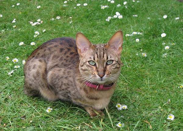 A sleek brown cat with striped markings on its face and back, it has very pale green eyes and pointy ears and a red collar. It's sitting in the grass surrounded by daisies.