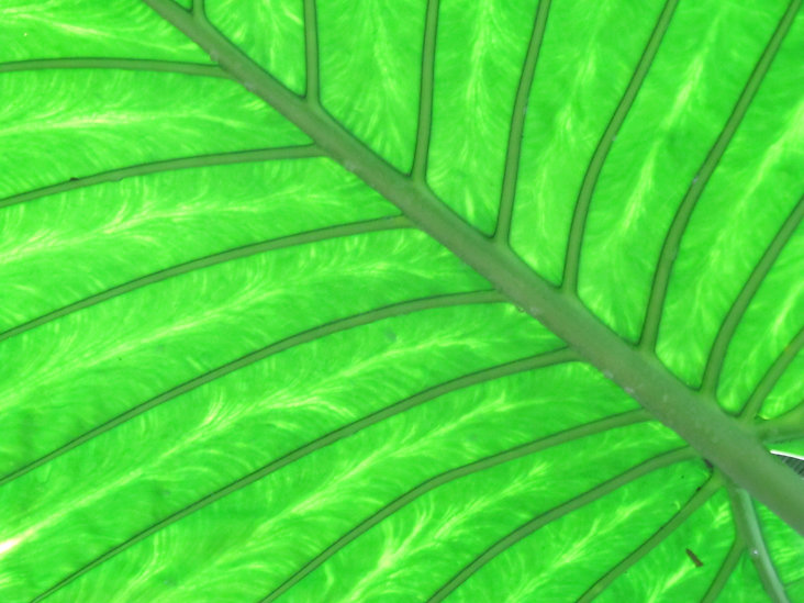 A close up colour photograph of a bright green leaf with slightly muted green veins.