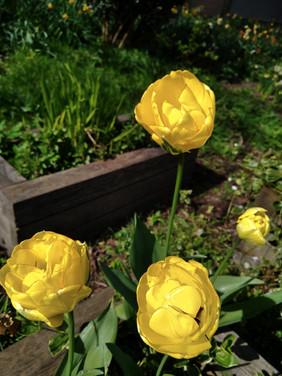 Yellow Tulips. Photograph by Rebecca Wilcox