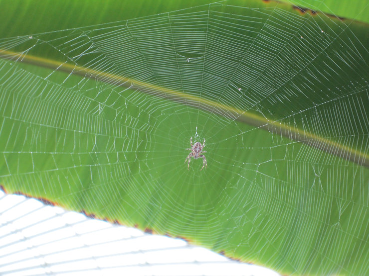 Colour photograph of a cobweb and spider with green leaf in the background.