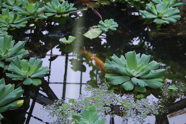 Colour photograph of Botanic Gardens pond, with goldfish just under the surface, lily pads and reflection of the glass and metal roof.