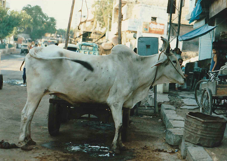 A very thin cow with horns in an Indian street scene, the cow is white and the buildings in the background are pale colours with a pale blue car nand pale blue shop awning visible.