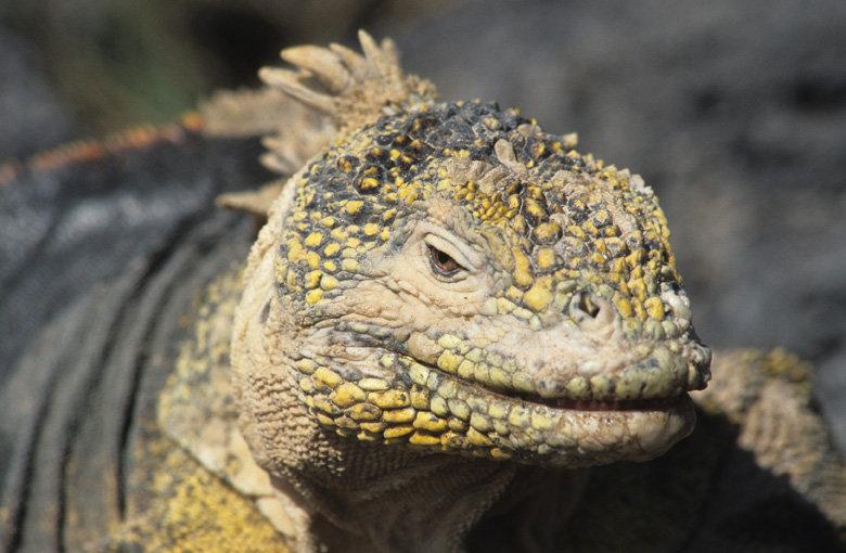 Close up of the face of an Land Iguana.