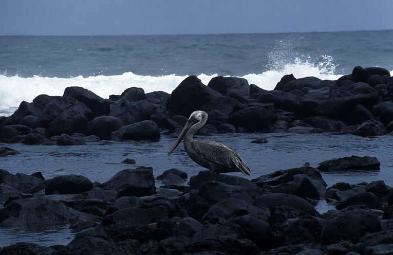 Grey pelican with white markings on it's head standing on dark grey rocks in a dark blue sea with white foam in the background.