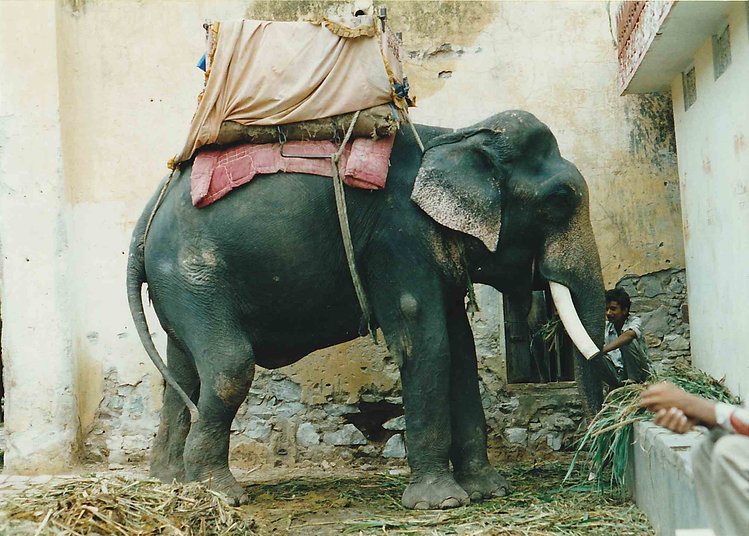 An indian grey elephant with white tusks standing in front of a sandy coloured building it is carrying a beigey tent like shape on it's back which is sitting on a faded pinky red quilt.