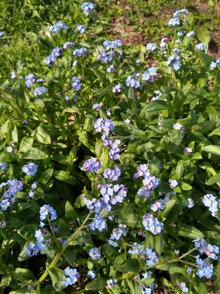 Forget Me Nots. Photograph by Rebecca Wilcox