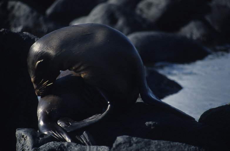 A dark grey sea lion with the light reflecting on it's wet skin, it's body and head arch over to the left and it is surrounded by dark grey rocks and pale grey sea.