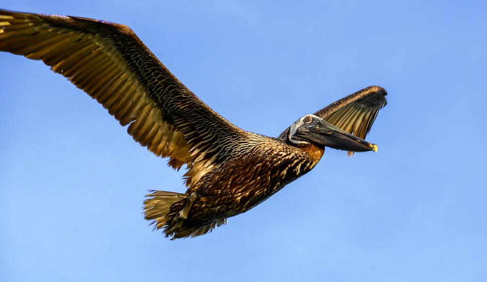 pelican fishing.jpg