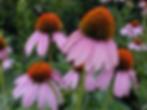 Echinacea purpurea.png