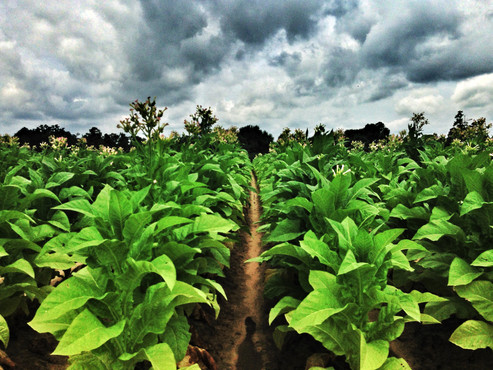 storm-brewing-over-tobacco-field-ULTSEG3