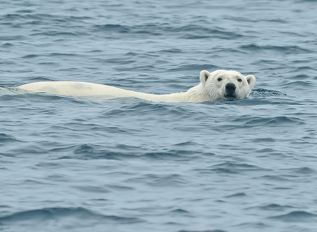 Flow Bear -  diving in at Summer Solstice