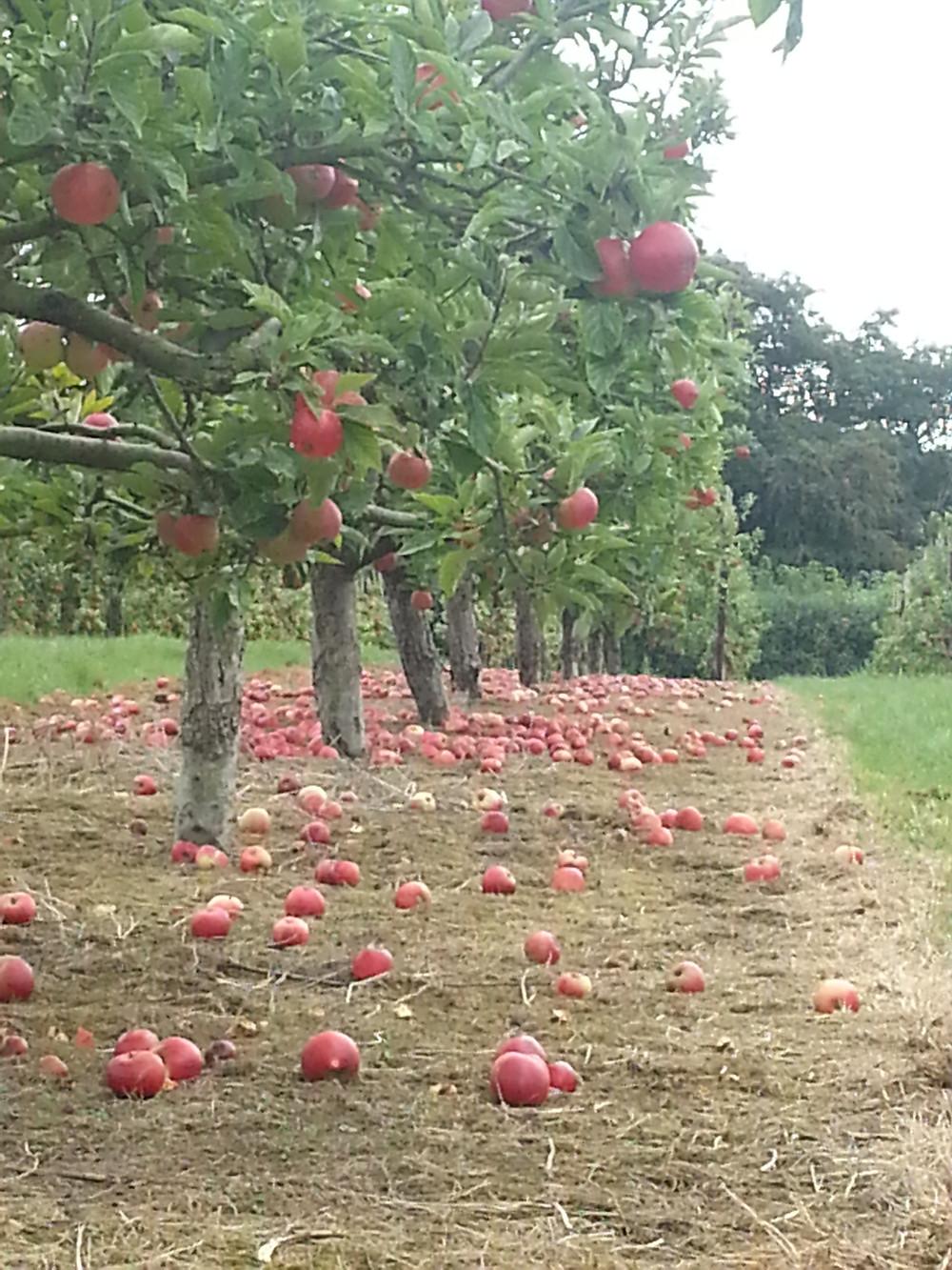 an abundance of apples in Avalon