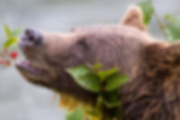 shutterstock%20bear%20eating%20berries_e