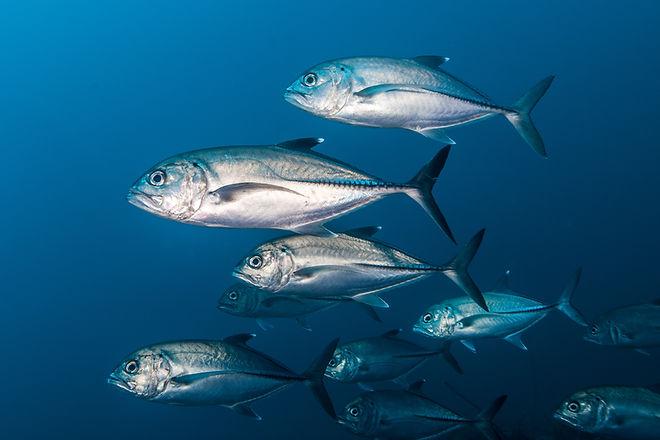 Jack Fish, Carangidae.jpg