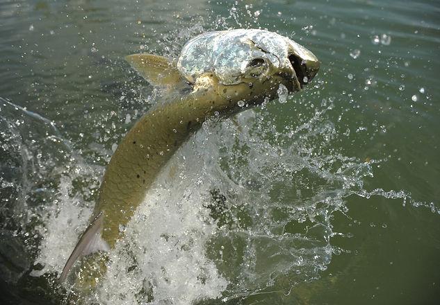 Tarpon fish jumping out of water_edited.jpg