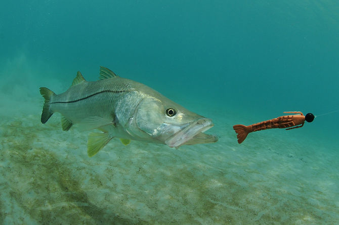 snook fish swimming after lure in the oc