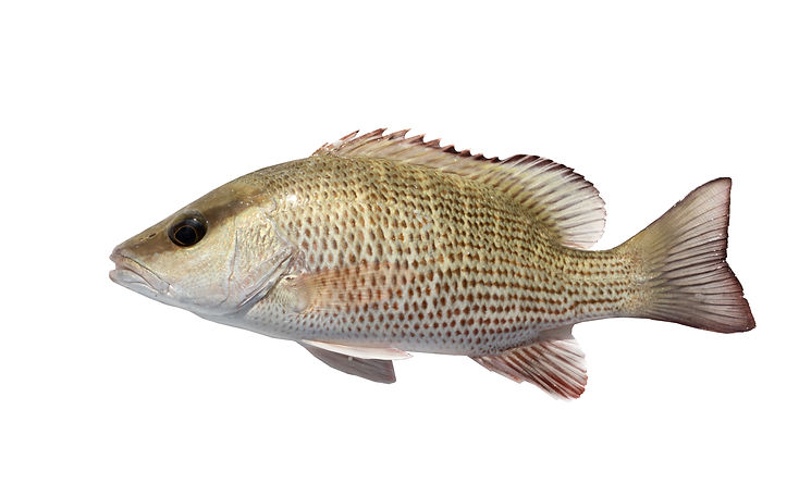 The mangrove snapper or gray snapper (Lu