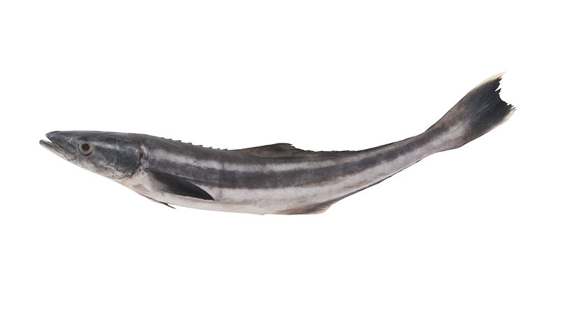 Cobia fish or black kingfish isolated on