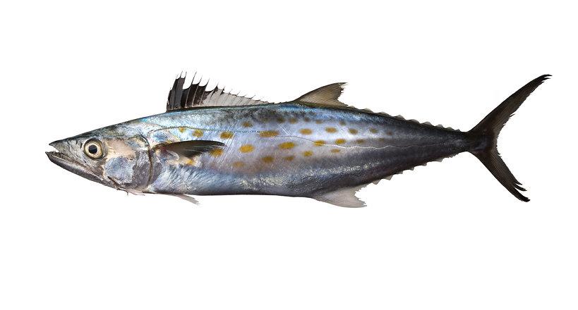 Atlantic Spanish mackerel (Scomberomorus