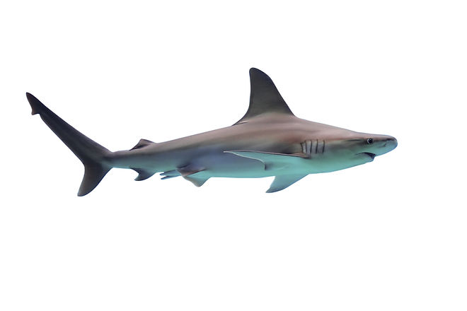 Shark isolated on white background.jpg