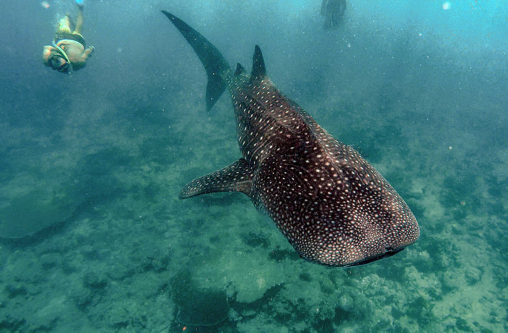 Whale Shark Maldives South Ari Atoll
