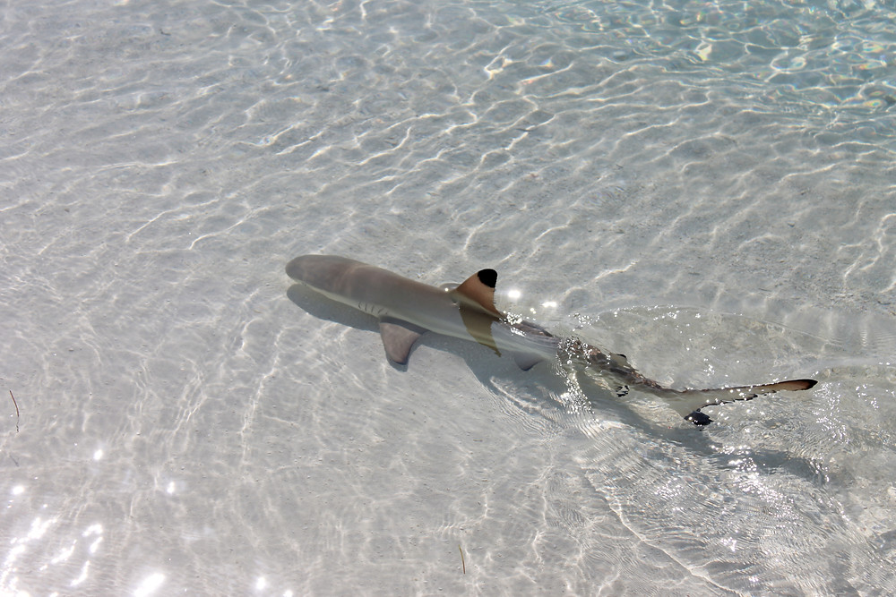 Maldives reef shark