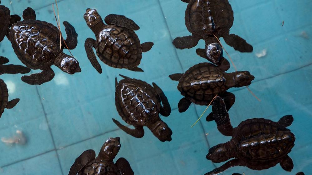 Baby turtles on Gili Meno in Lombok