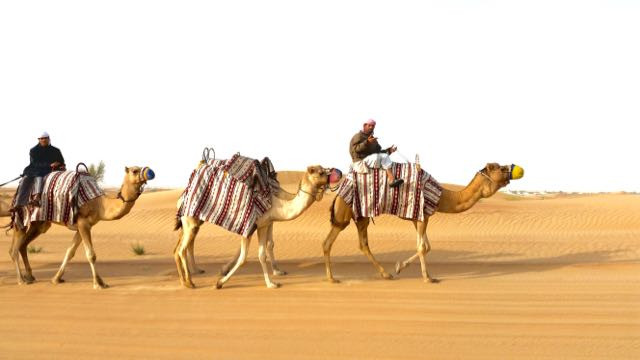 Camels riding in the Dubai desert. Coloured arabian cloths and knitted nose mits more camels