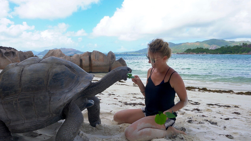Giant tortoise being fed on Curieuse Island Seychelles