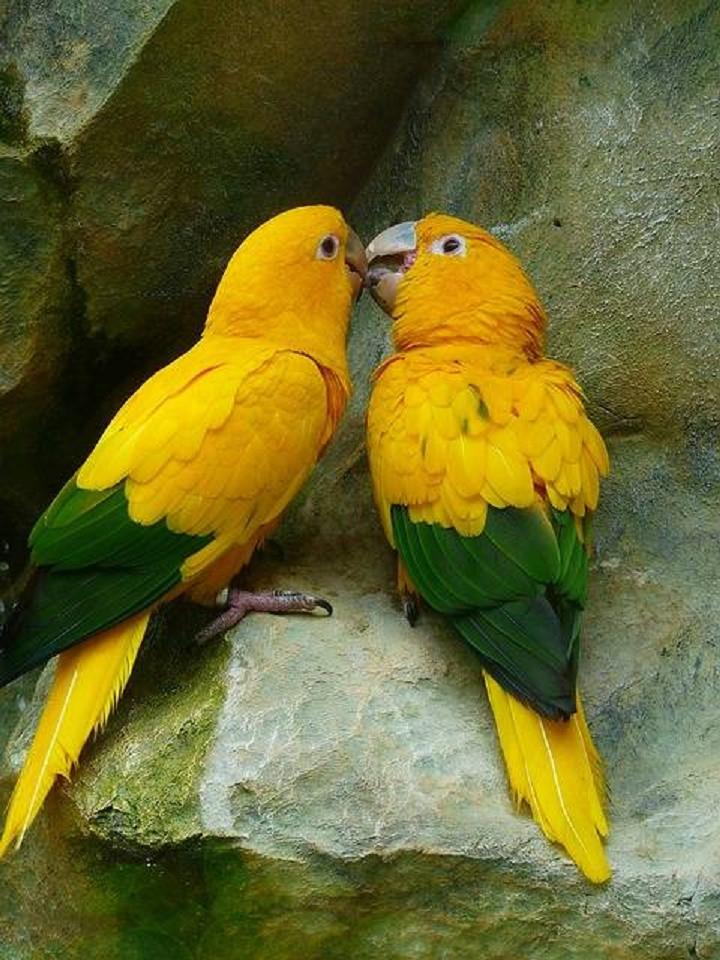 Gold parakeets/Pixabay