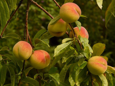 """Four Poems by Donal Mahoney: """"A Fine Distinction"""", """"Monks in the Orchard Picking Peac"""