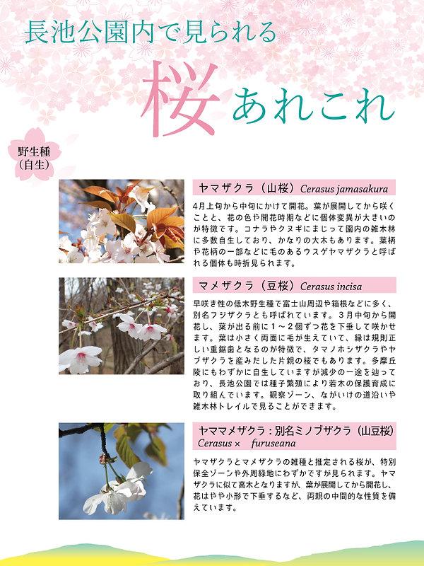 長池公園内で見られる桜あれこれ圧縮.jpg